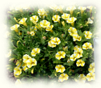 lemon slice calibrachoa