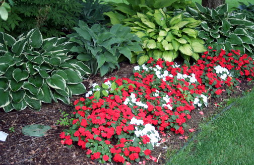 hostas and impatiens in a flowerbed