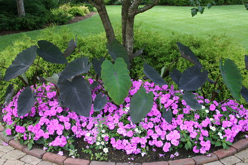 New Guinea Impatiens and Elephant Ears